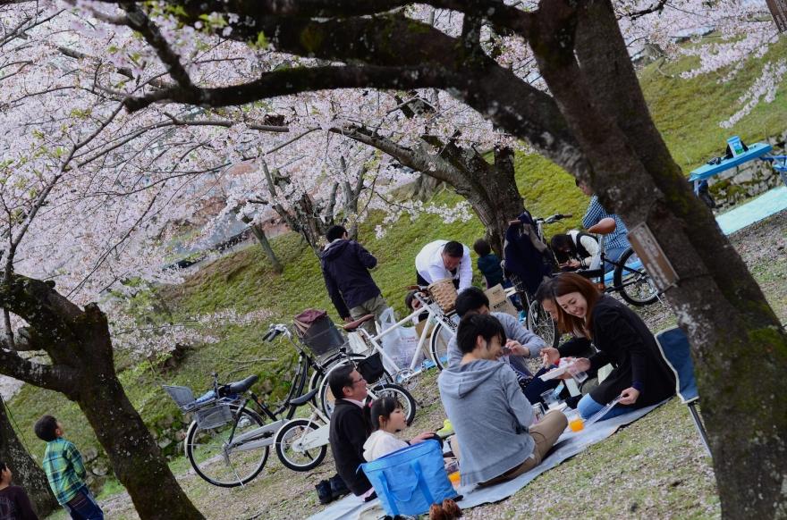 japanese picnic under cherry tree