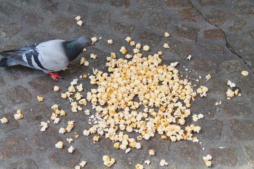happy lazy Dutch pigeon