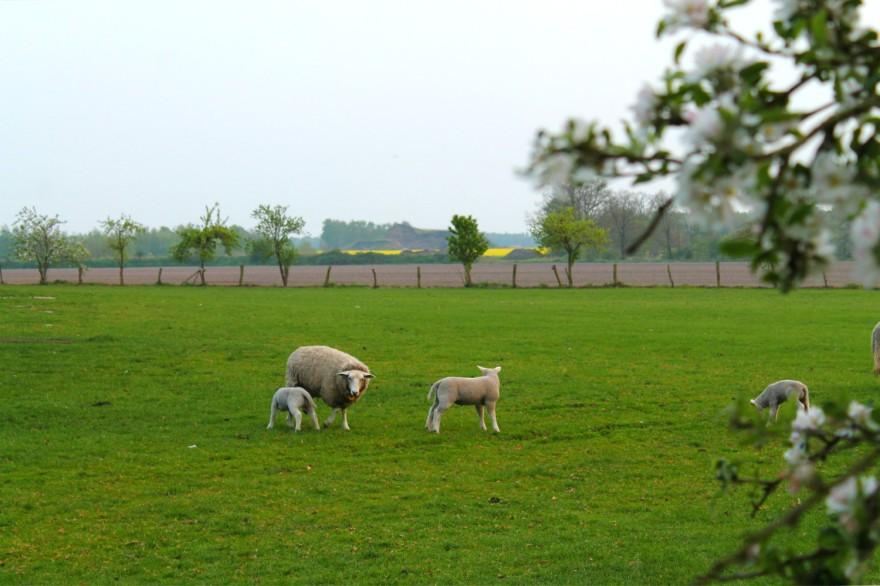 sheep dutch countryside