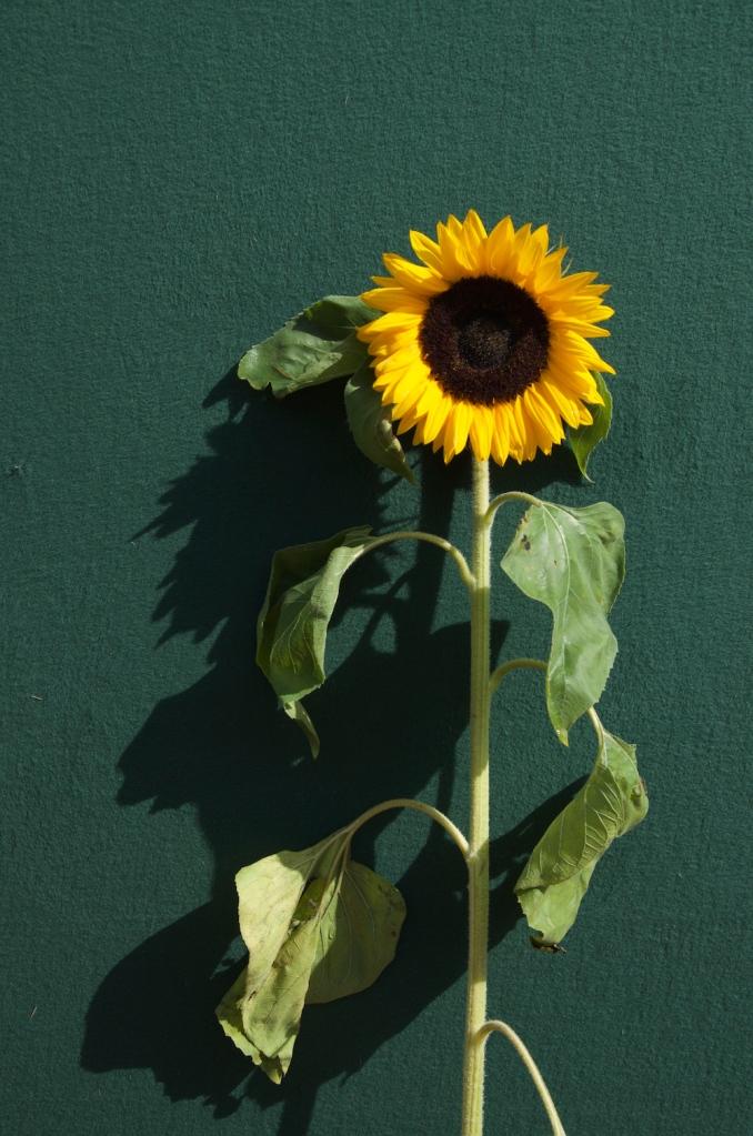 Sunflower, van Gogh museum