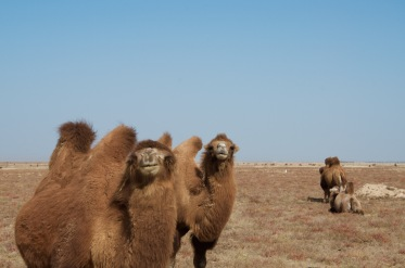 camel couple