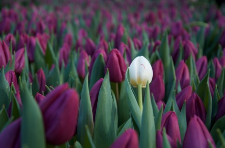 one of a kind tulip