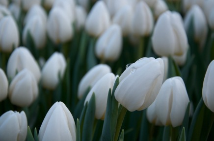rain drop on the white tulip