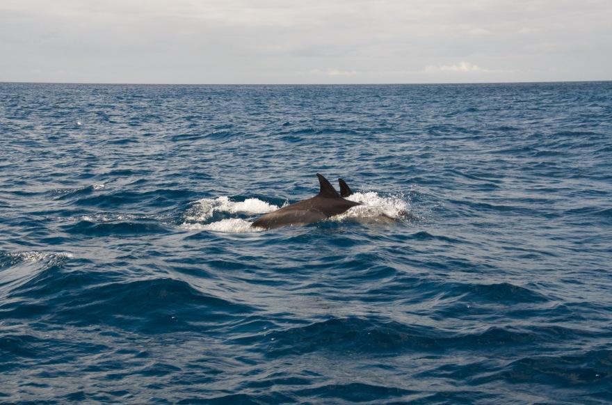 wild dolphin couple azores