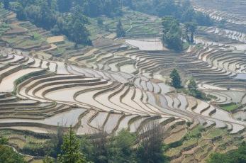 rice field yunnan china